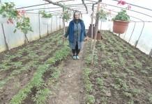 Rozalia Gergely îngrijeşte legumele din solarul încălzit