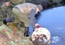 Eliberarea peştilor la Săcălăşeni