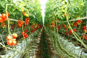 Sera cultivată cu roşii