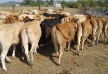 Bovine de carne, într-o fermă din Seini