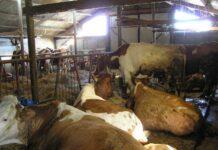 Fermă de vaci din Lucăcești