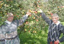 Recoltă bună de mere în satul Odeşti
