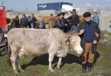 Ioan Rogojan din Chechiş, cu vaca la tîrg