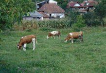 Vaci la păscut în Oarţa de Sus