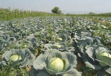Varza de toamnă costă 60-80 bani/kg. Ecologică, 2 lei/kg.