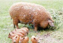 Porci din rasa Mangaliţa