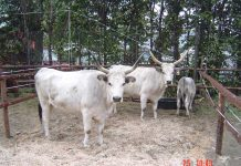 Vaci de rasă sură de stepă