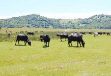 Ciurdă de bivoli şi vaci, în Groşii Ţibleşului
