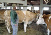 Microfermă de vaci din Vălenii Şomcutei